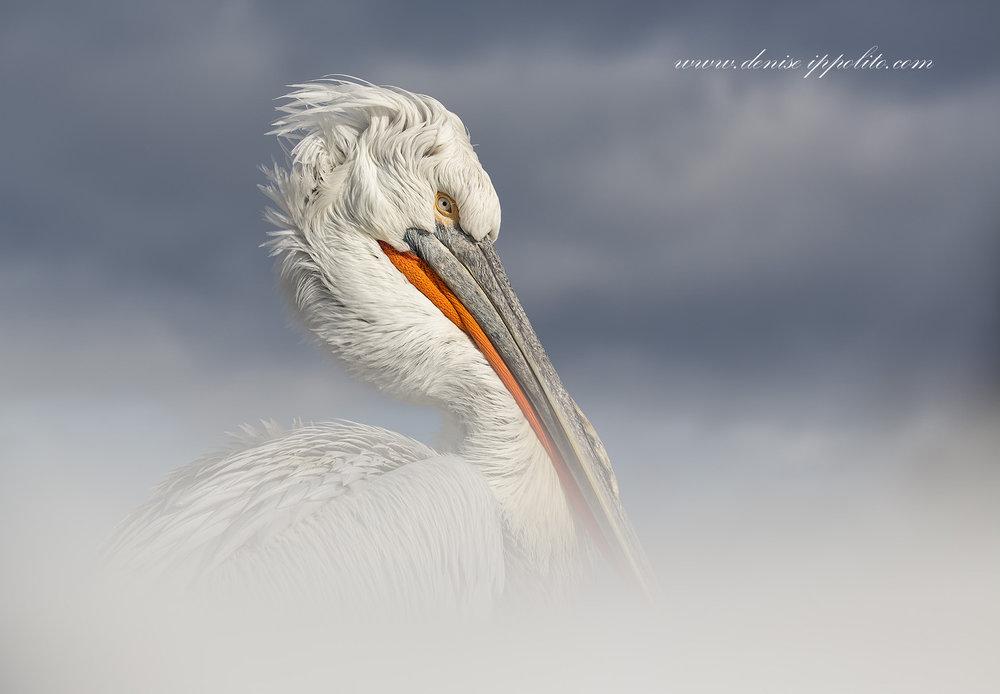 _65C9569Dalmatian Pelicans, Greece.jpg