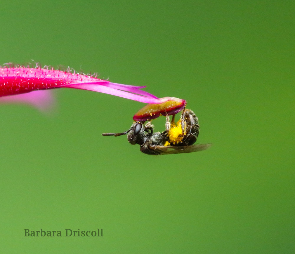Lasioglossum on Bee Balm.jpg