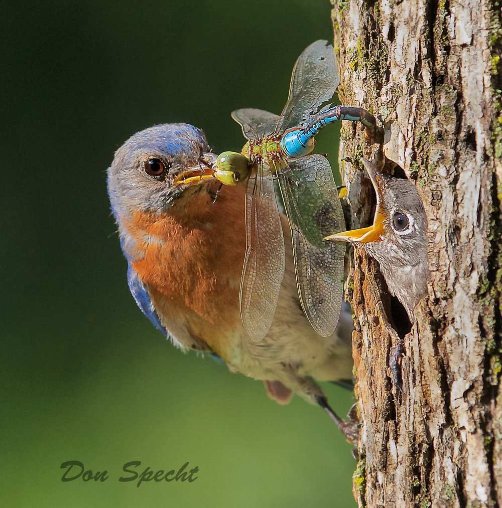 Eastern bluebird and nestling