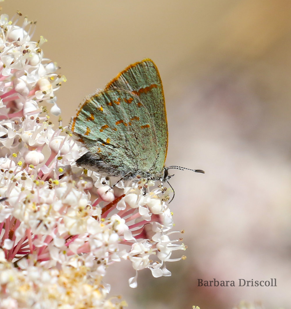 Arizona hairstreak butterfly