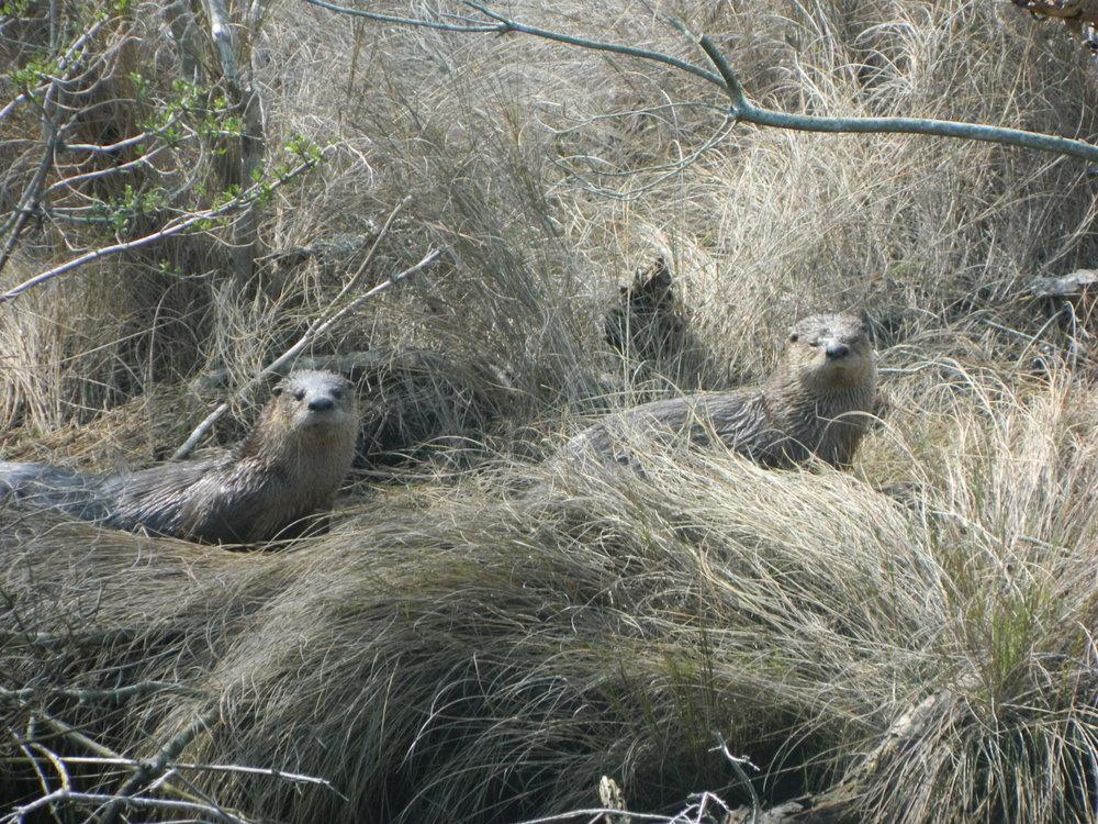 River otters near Chincoteague