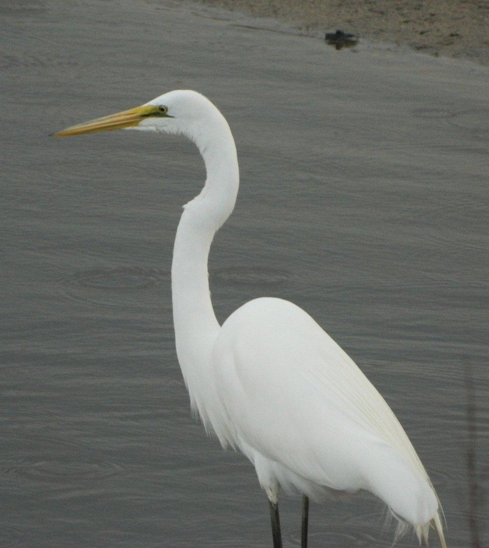 A white egret along the Chesapeake Bay shore