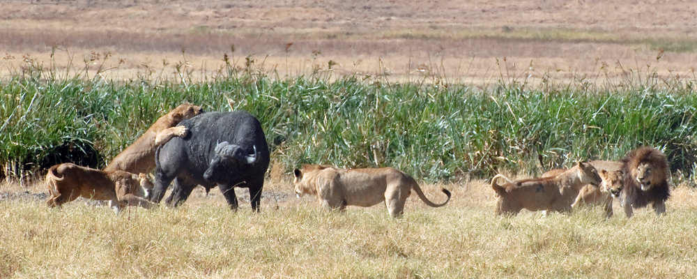 Lions working as a team to bring down a buffalo in Tanzania. Image by  oliver.dodd .