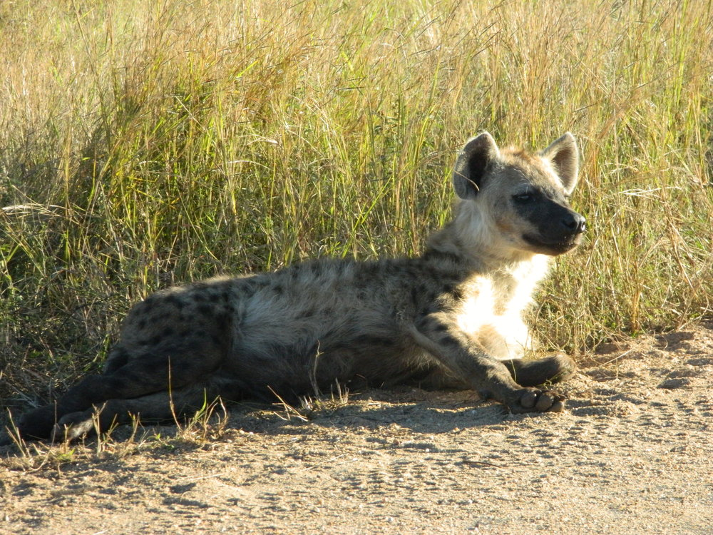 A spotted hyena takes a break from crunching on wildebeest bones.