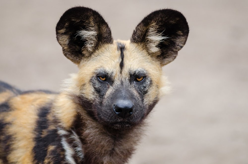One of my top goals is to photograph endangered African wild dogs, which are also known as painted dogs and hunting dogs. Creative Commons image.