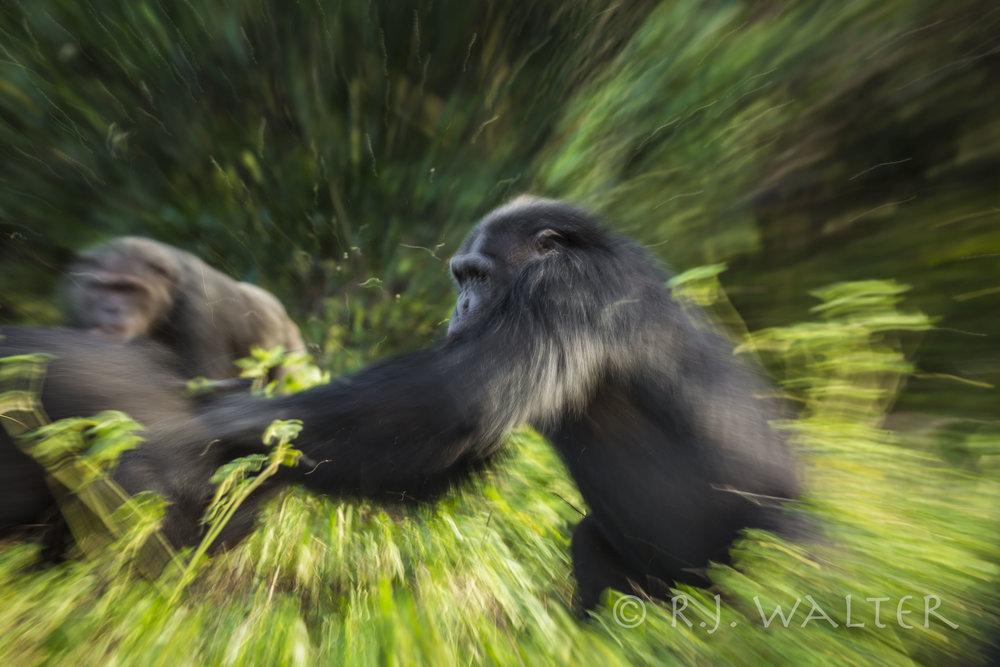 Chimpanzee Explosion
