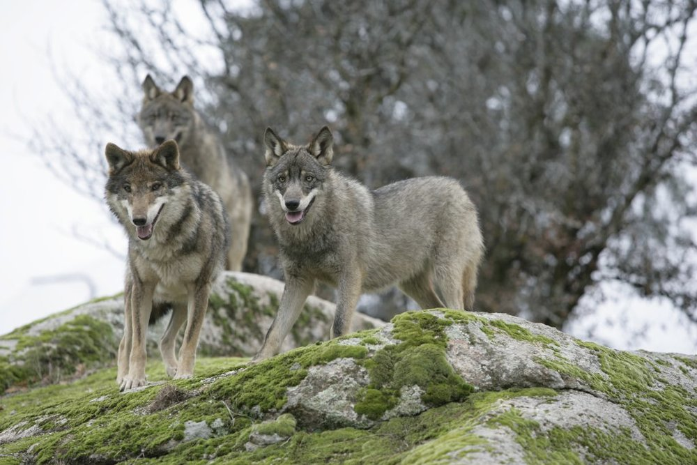 A pack of radioactive wolves prowls the Chernobyl Exclusion Zone. Image by Juan José Gonzáles Vega.
