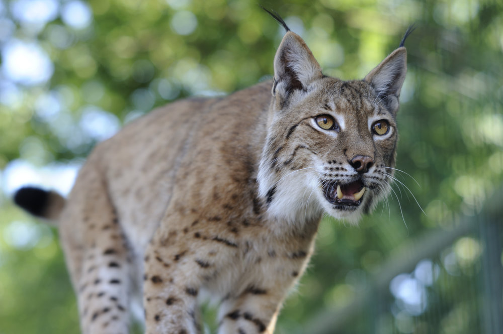 The elusive Eurasian lynx is one of many amazing animals to take over Chernobyl. Image by  dogrando .