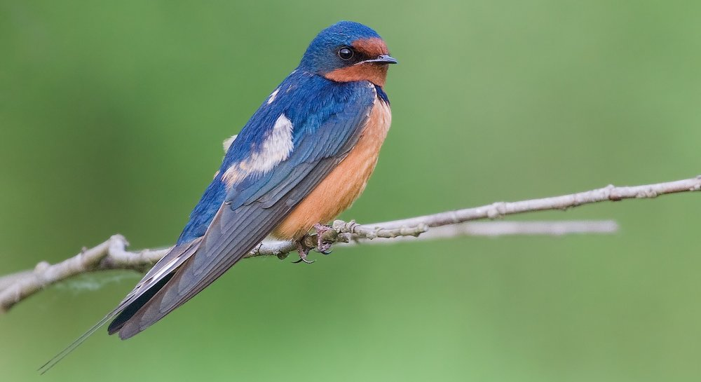 Barn swallows with physical deformations have been observed in the Exclusion Zone. Image by  JJ Cadiz .