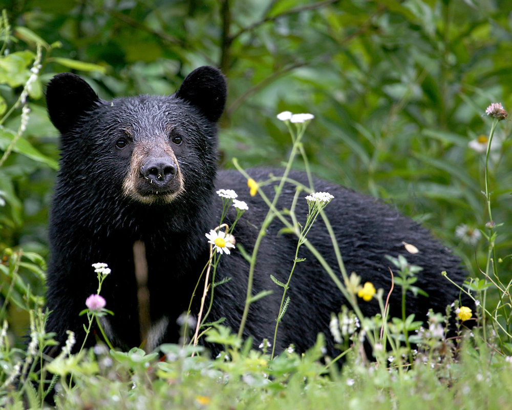 This black bear may look cute, but I sure don't want to mess with him. Image by  Jitze Couperus .