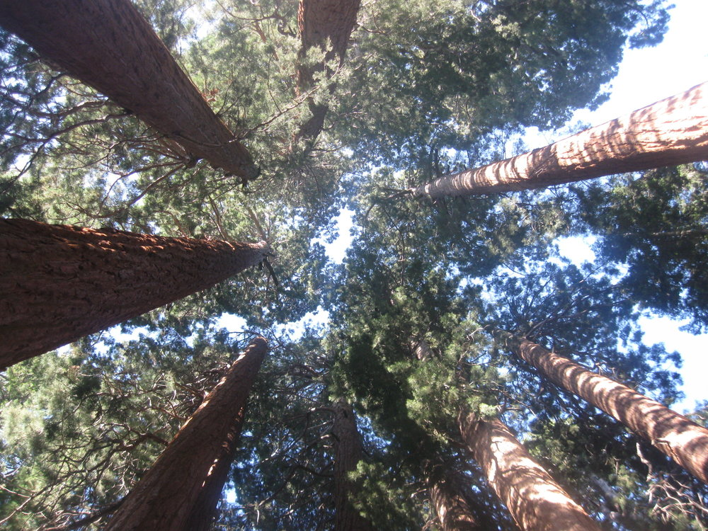 Giant sequoia trees (Sequoiadendron giganteum) in the Muir Grove