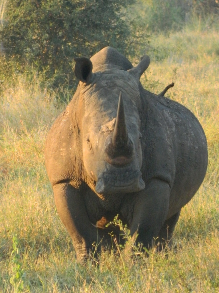 A white rhino in Kruger, on that first trip that sparked my passion for biodiversity