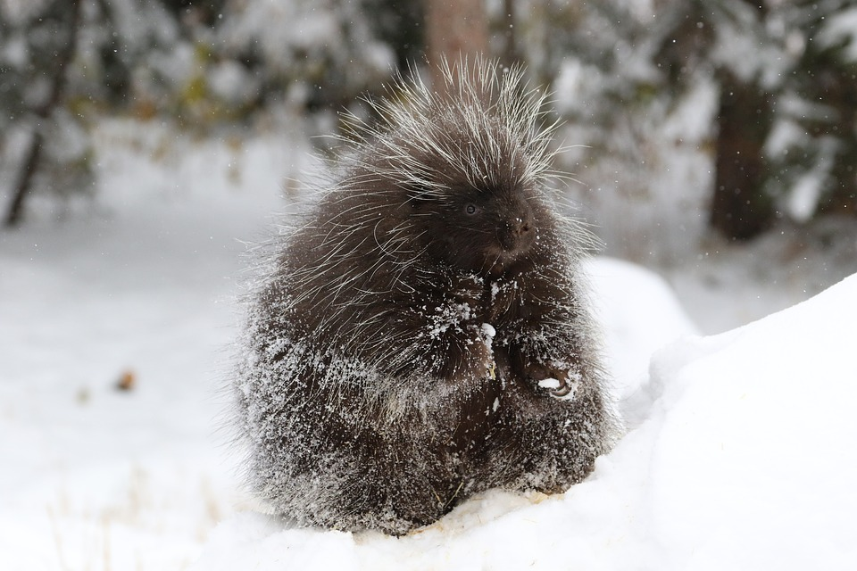 Porcupines can't throw their quills (a popular misconception), but I still wouldn't want to pet one! To see a truly spectacular photo of an amazing and adorable porcupine, check out   Jenaya Launstein's story   here on the Wild Focus Project.