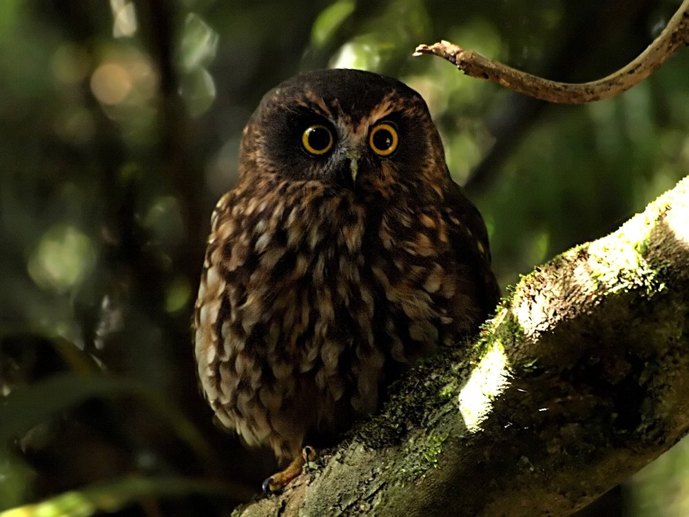 A ruru, or morepork, NZ's native owl. There also used to be another NZ native owl, the laughing owl, but it went extinct in 1914, probably because of introduced cats and stoats. Image by  digitaltrails