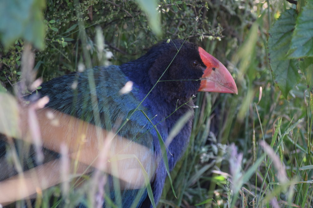 One of Orokonui's resident takahe, hiding in the bushes. Takahe are now so endangered that they only live in sanctuaries or on islands that have been completely cleared of predators.