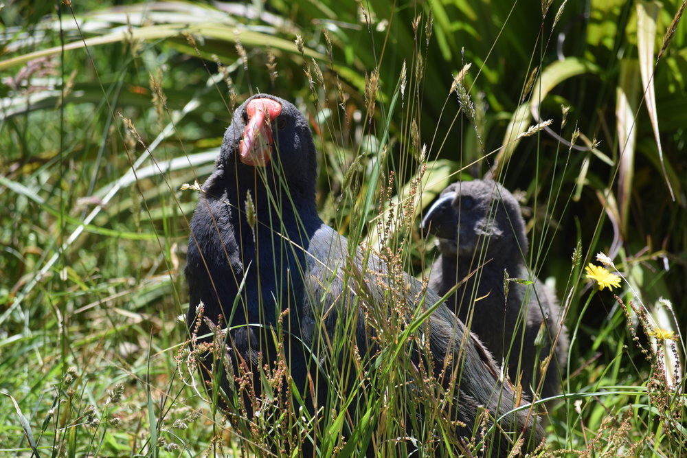 The whole takahe family was out and about! The baby isn't as colorful as mom and dad yet, and is pretty uncoordinated.