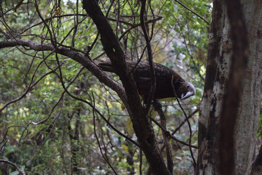 A kaka (a native parrot) checks us out along the Horseshoe track.