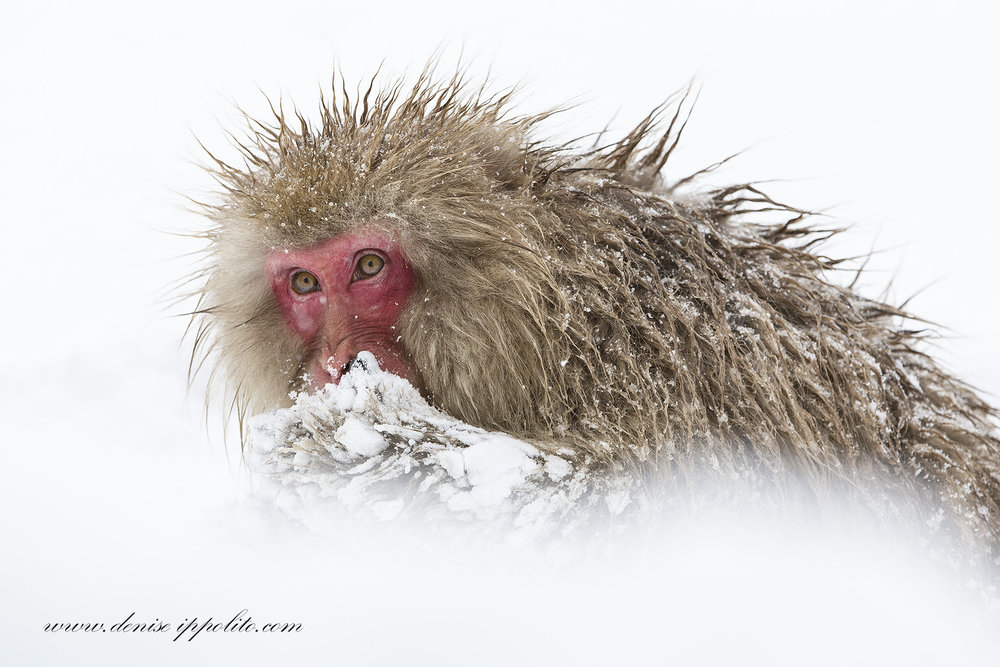 This snow monkey seems much more relatable and human-like to us than the dragonfly below. Image by  Denise Ippolito