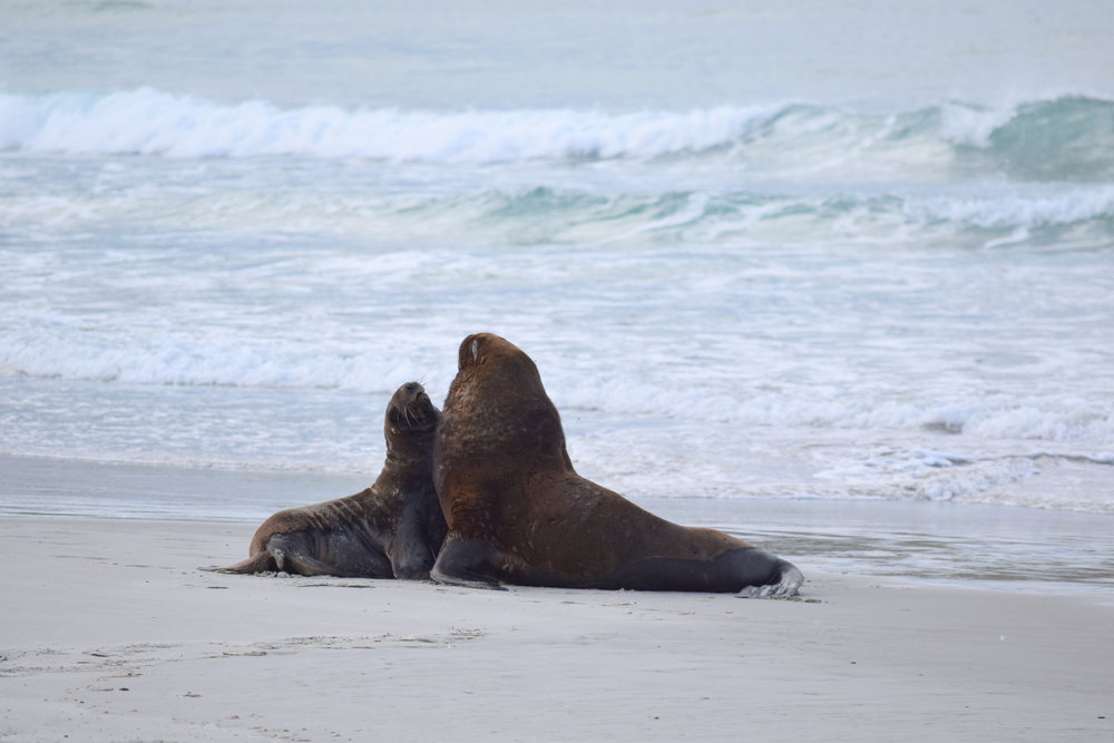 By setting up protected areas for these Hooker's sea lions, NZ has effectively protected dozens of other coastal species that many people don't even know exist.