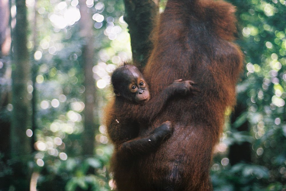 A baby orangutan clings to mom as she swings through the forest. Image by  Ellen Munro