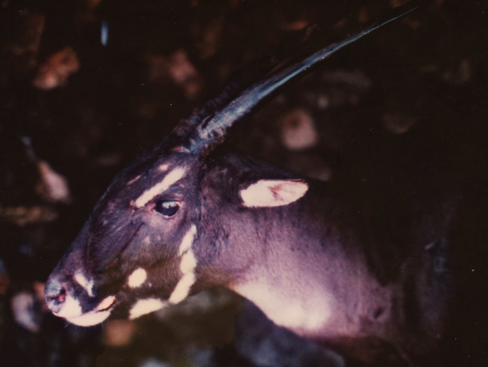 A captive female saola in Laos, 1996. Image by William Robichaud, via  Global Wildlife Conservation  on Flickr.