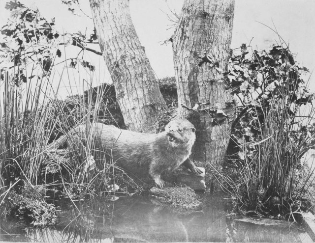 One of John Dillwyn Llewelyn's early nature photos featuring a stuffed otter, from 1852. Emma Talbot introduced him to the art. Image from  Lomokev .