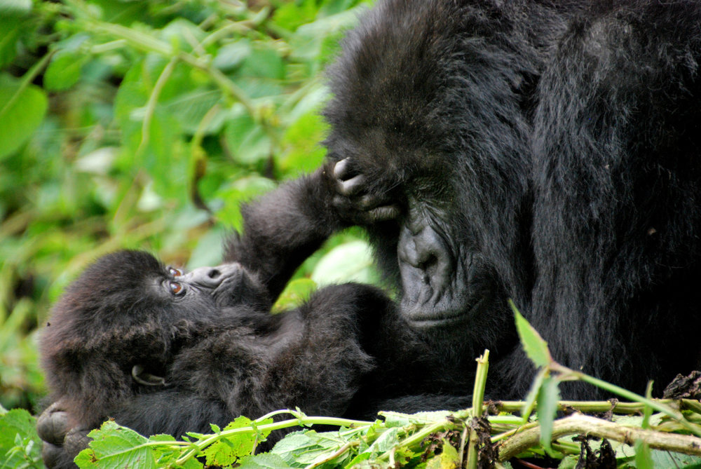 Mountain gorillas, some of our closest evolutionary relatives, are highly endangered. Image by  Kate .