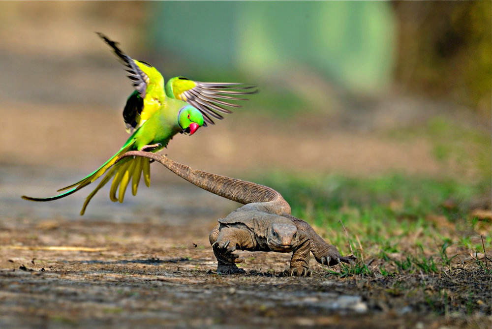 A rose-ringed parakeet defends its chicks and territory from a monitor lizard. Image by Rathika Ramasamy, via  Cambyte .