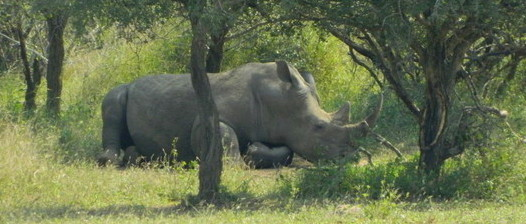A white rhino resting in the shade in Kruger National Park, South Africa