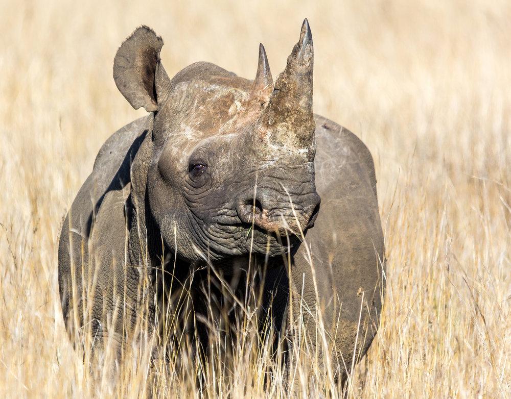 Black rhino. Image by  Gerry Zambonini