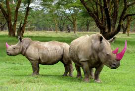 These rhinos may look pretty in pink, but the poisonous dye actually goes  inside  the horn - photos like this of rhinos and elephants with pink horns and tusks are fake. Image from  listings101