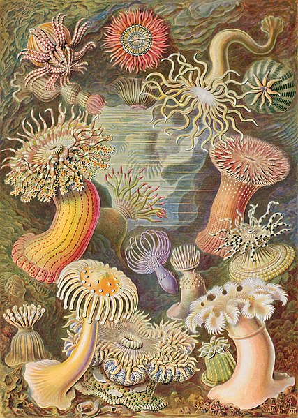 A plate showing beautiful sea anemones from  Kunstformen der Natur , 1904, by Ernst Haeckel