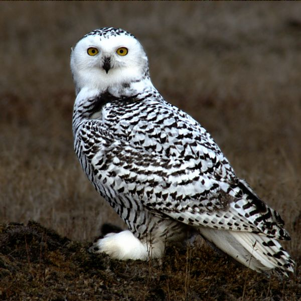 Snowy owls won't actually carry your mail - sorry. Image by  Floyd Davidson .