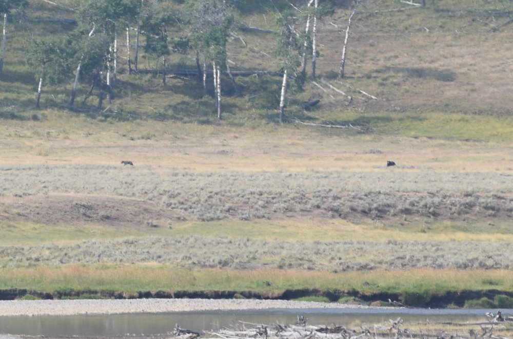 From Yellowstone last August, on a 200 mm lens. The tiny speck on the left is a wolf, and the speck on the right is a bear.