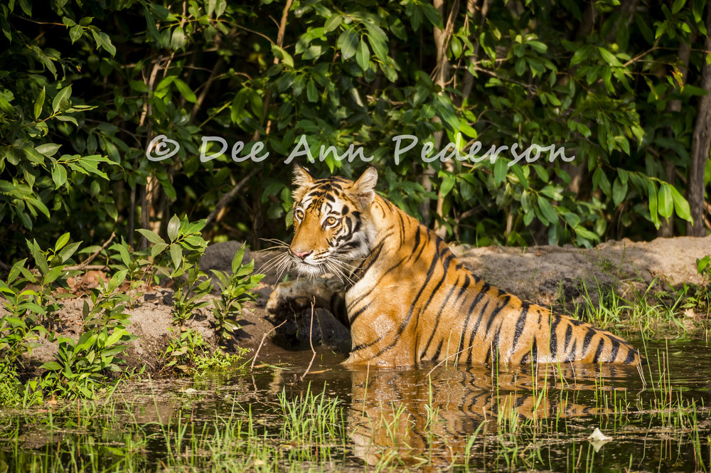 The big cats like this Bengal tiger are amazing, but spare a thought for the little cats too. Image by  Dee Ann Pederson  .