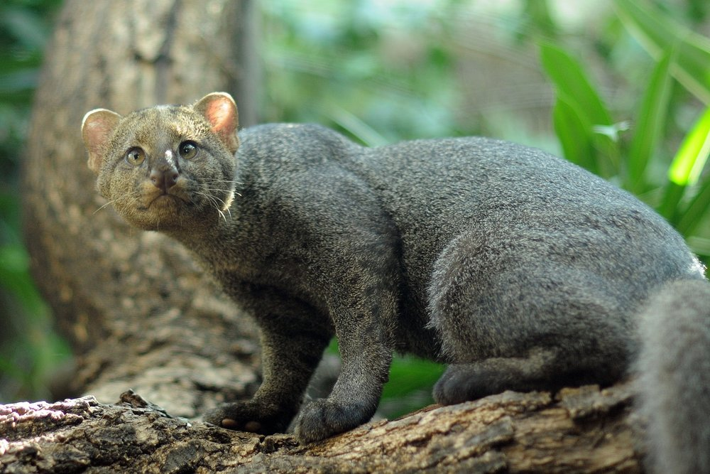 A jaguarundi, one of the lesser known small cats. Jaguarundi can be found in South and Central America. Image by    Joachim S.     Müller