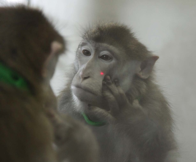 This macaque recognizes itself in the mirror. Image by Ned Gong et al., via  Ewen Callaway and   Nature .