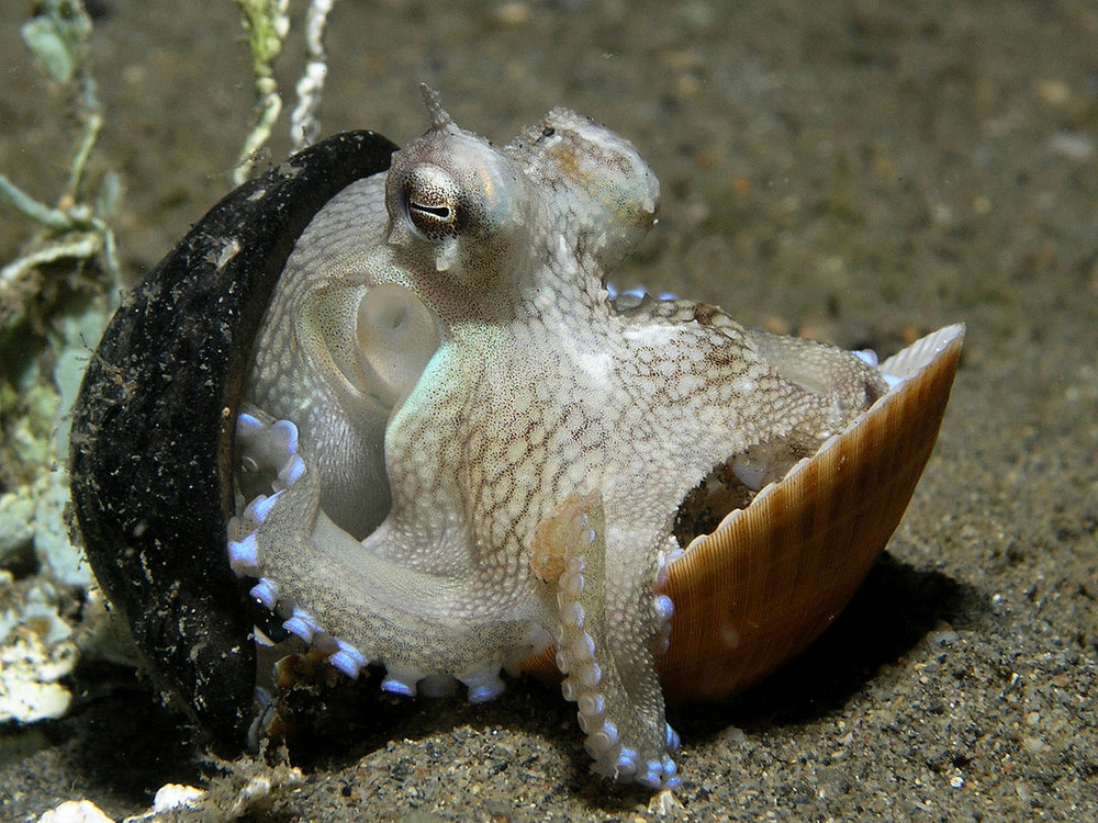 A tiny coconut octopus carries a nutshell and a clam shell for protection as it searches for food. Image by  Nick Hobgood .