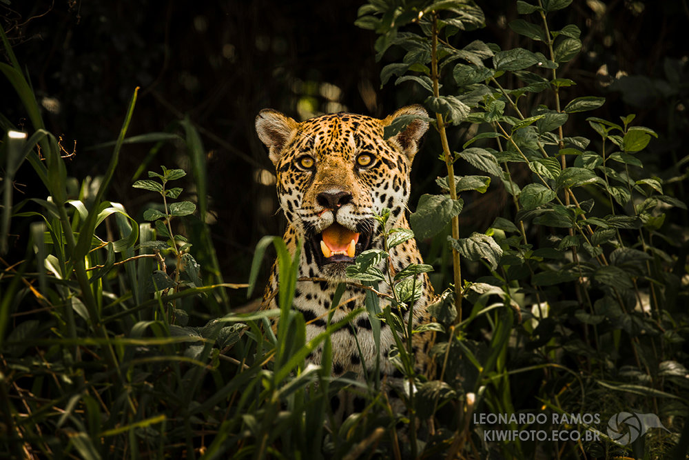 A jaguar from the Brazilian Pantanal. This photo won the second place of the  Wiki Loves Earth 2017 International Photography Competition , and is available at Wikimedia Commons under a Creative Commons license. Image by Leonardo Ramos.