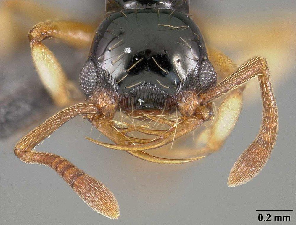 Thaumatomyrmex atrox  is a specialist millipede hunter.