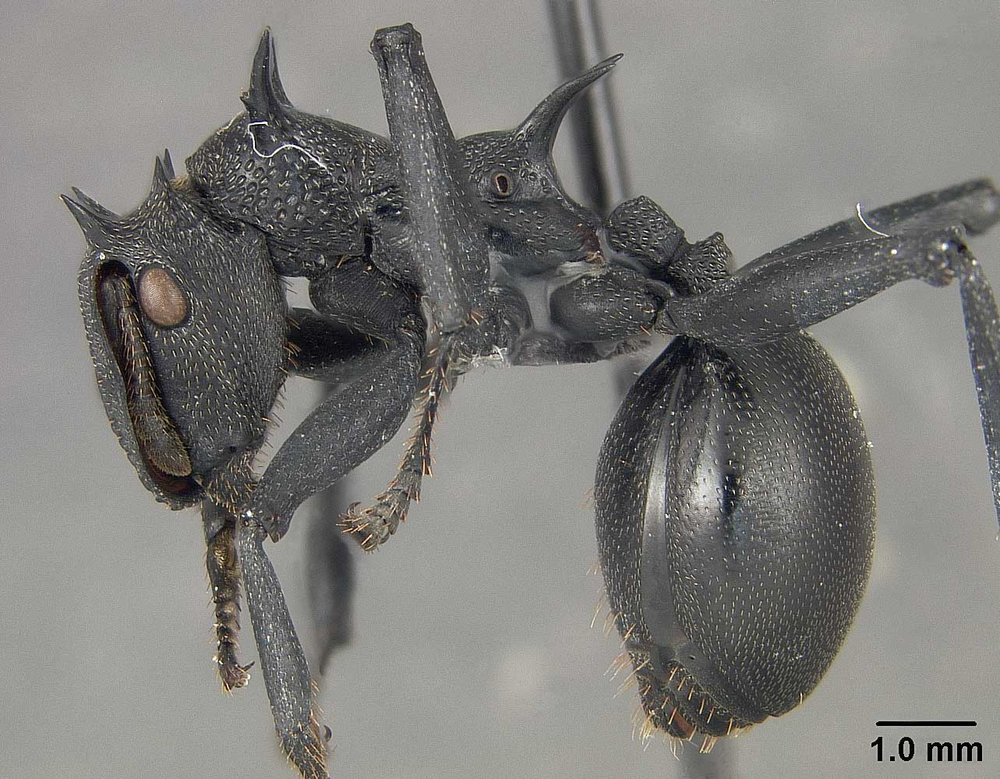 Cephalotes atratus  is much larger and spinier than other ants in the same genus.