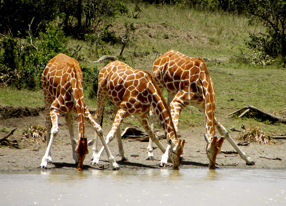 Giraffes lean way down and splay their front legs to get a drink. Image by  kimvanderwaal .