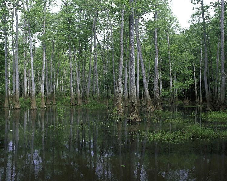 Bond Swamp National Wildlife Refuge, Georgia, USA. Image by  USFWS.