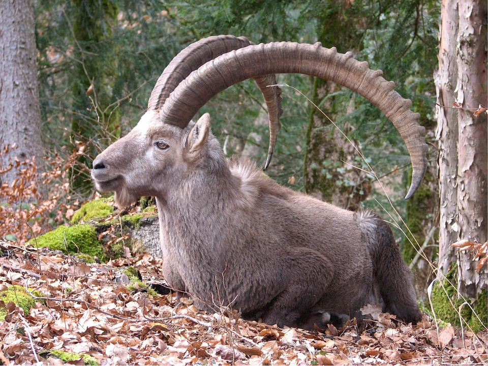 The capra ibex has some of the largest and most magnificent horns in the animal kingdom.