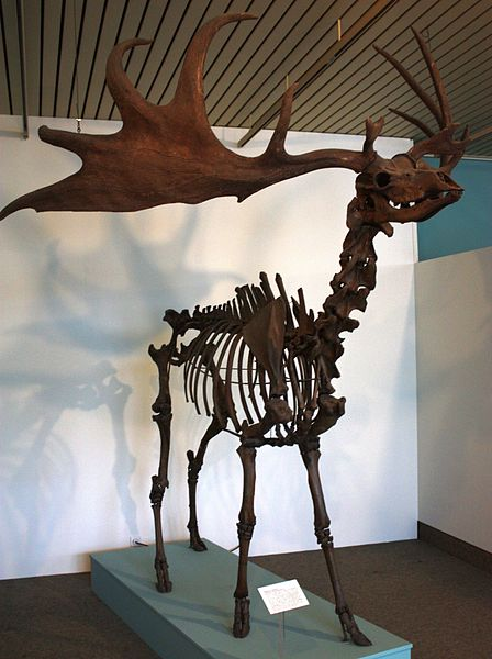 The Irish elk's enormous rack of antlers was probably used for display, not fighting. Image by  Sterilgutassistentin .