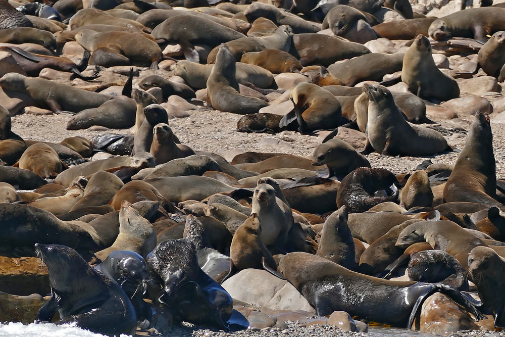 Cape fur seals lounge along the South African coast. Image by  Bernard DUPONT .