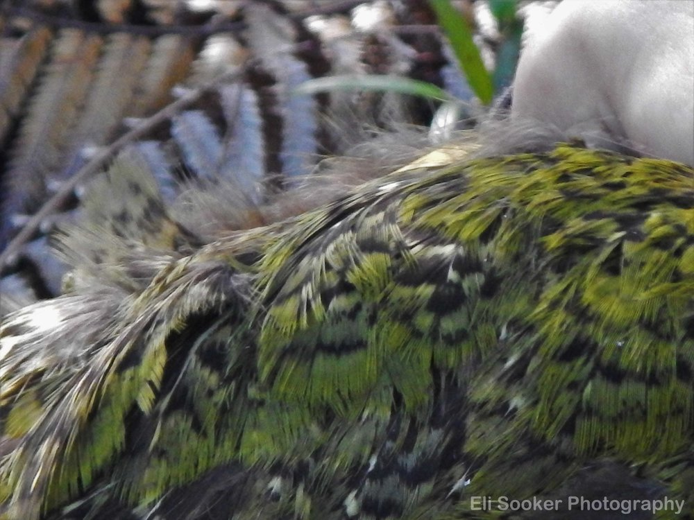 Close-up on kakapo feathers