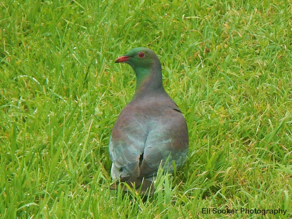 Keruru/New Zealand wood pigeon