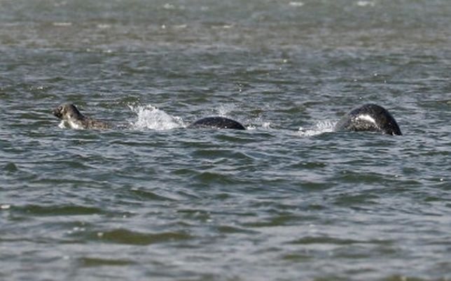 "This 2016 photo of three seals playing in Loch Ness was spread online as ""proof"" of Nessie. Image by Ian Bremmer, via  Metro News ."