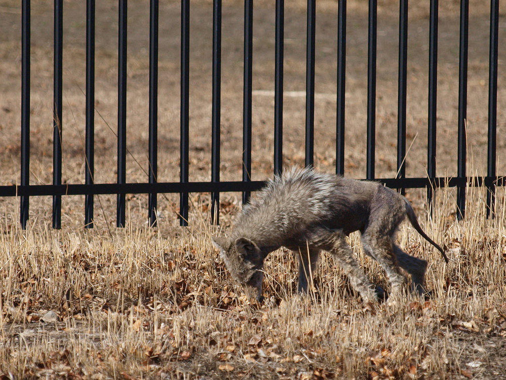This coyote with mange was identified (jokingly) as a chupacabra by the photographer,  Wilson Hui .